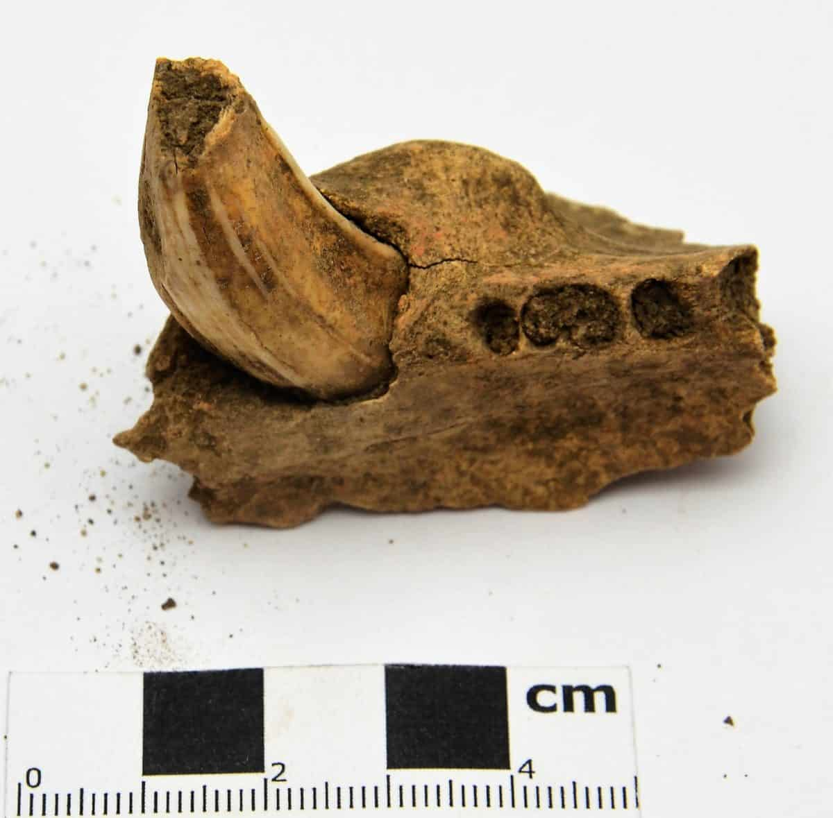 Anglo-Saxons 13 F2575b Animal remains - Boar tusk and partial jawbone